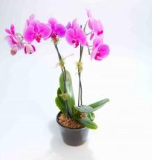 Mini Phalaenopsis Orchid - Double Stem